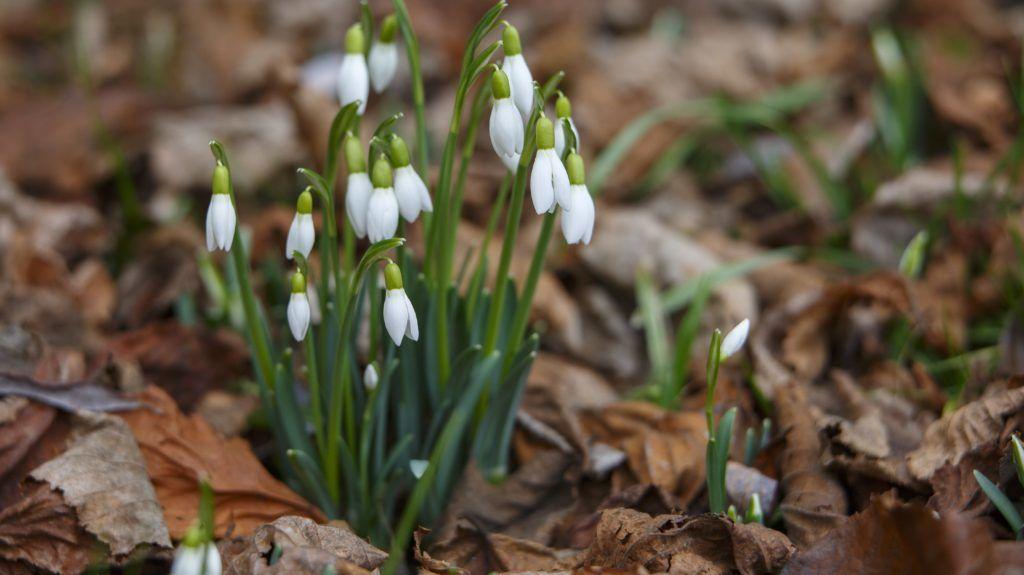 Nagykanizsa, 2019. február 3.Hóvirág nyílik Nagykanizsán egy társasház udvarán 2019. február 3-án.MTI/Varga György
