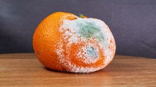 rotten and moldy orange on wooden desk
