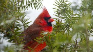 Male Cardinal in Evergreen Close Up