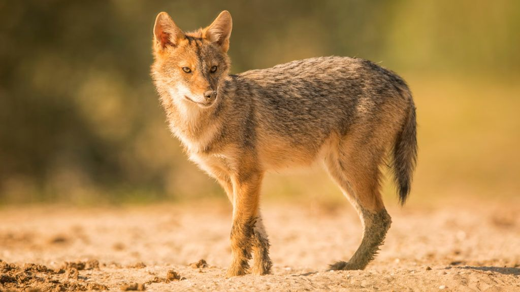 The Caucasian jackal or reed wolf in the wild. This jackal is native to Southeast Europe and is advancing northward and westward across Europe.