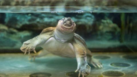 Chinese turtle in the aquarium