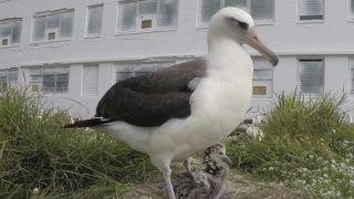 Midway-atoll, 2019. február 13. Az Egyesült Államok Halászati és Vadvédelmi Szolgálata által 2019. február 12-én közreadott, 2018-ban készült kép egy Laysan-albatroszról fiókájával a fészkükben, a Midway Atoll Nemzeti Vadvédelmi Menhelyen, a Hawaii-szigetektõl északnyugatra levõ Midaway-atollon. A Wisdom (Bölcsesség) néven ismert tojót a világ legidõsebb vadon élõ madaraként tartják számon a szervezet munkatársai, akik szerint az albatrosz 68 éves és életében legalább 31 fiókát felnevelt. A Honolulu Star-Advertiser hawaii napilap szerint 2019. február elején Wisdom újabb fiókája kelt ki a természetvédelmi területen. Az albatroszfajok fészekalja egyetlen tojásból áll. MTI/AP/Bob Peyton