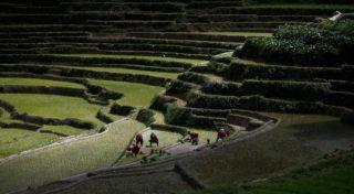 Dzsítpur, 2017. június 29. Rizst ültetõ földmûvesek a nepáli fõváros, Katmandu közelében fekvõ Dzsítpur faluban a rizsültetés kezdetét megünneplõ országos rizsnapon 2017. június 29-én. (MTI/EPA/Narendra Sresztha)