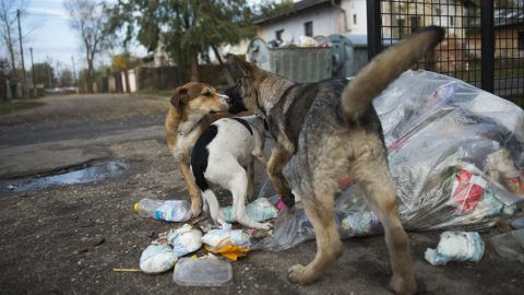 Nyíregyháza, 2012. november 13.Kóbor kutyák élelmet keresnek a Huszár telep egyik szemétgyűjtő helyén Nyíregyházán 2012. november 13-án. A város önkormányzata idén 22,7 millió forintot fordít a városüzemeltetés által működtetett Állategészségügyi Telep gyepmesteri tevékenységére. A telep munkatársai idén eddig 286 állatot gyűjtöttek össze. A kutyák 95 százalékát a PCAS nemzetközi állatvédelmi egyesület helyezi el új gazdáknál. A helyiek idén 20 kutyát fogadtak örökbe.MTI Fotó: Balázs Attila