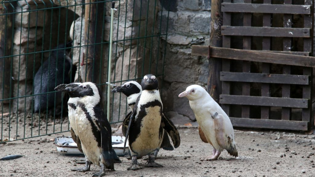 An unique albino penguin (R) is pictured at the Gdansk Zoo on March 22, 2019. (Photo by Maciej KOSYCARZ / various sources / AFP)