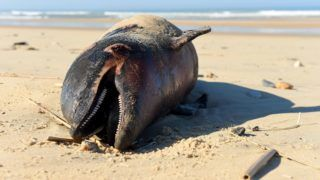 """A dead dolphin lies on a beach of the Atlantic Ocean near Lacanau, southwestern France, on March 22, 2019. - Over 1,100 beached dolphins have been recorded on the French Atlantic coast, mainly in the Vendee, Charente-Maritime and Gironde deprtments, according to the Pelagis Observatory, a marine mammal and seabird research laboratory based in La Rochelle. """"We have dolphins arriving on the coast with marks, we can prove that it's accidental capture but we can not detect what fishing gear has contributed to this."""" We need to know exactly what it's happening"""", said Willy Dabin of the Pelagis Observatory. (Photo by NICOLAS TUCAT / AFP)"""