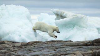 Polar Bear (Ursus maritimus) leaping between melting sea icebergs near Harbour Islands, Repulse Bay, Nunavut Territory, Canada.    Biosphoto / Paul Souders