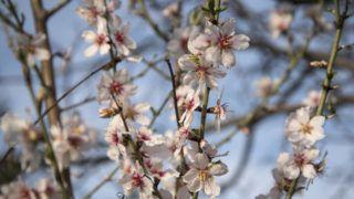 Budapest, 2019. március 22. A legkorábban virágzó fák közé tartozik a csonthéjas termésû mandula (Prunus dulcis) aminek legközelebbi rokona az õszibarack. A rózsafélék családjába tartozó mandula Ázsiában õshonos, a Kárpát medencében a római korban jelent meg és kezdett elterjedni. MTVA/Bizományosi: Turbéky Eszter  *************************** Kedves Felhasználó! Ez a fotó nem a Duna Médiaszolgáltató Zrt./MTI által készített és kiadott fényképfelvétel, így harmadik személy által támasztott bárminemû – különösen szerzõi jogi, szomszédos jogi és személyiségi jogi – igényért a fotó készítõje közvetlenül maga áll helyt, az MTVA felelõssége e körben kizárt.