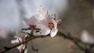 Pécs, 2019. március 7. Virágzó mandulafa (Prunus dulcis) Pécsen 2019. március 7-én. MTI/Sóki Tamás
