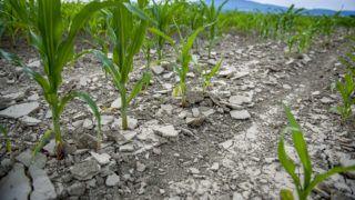 Pécsvárad, 2017. június 23.Kiszáradt kukoricaföld Pécsvárad közelében 2017. június 21-én.MTI Fotó: Sóki Tamás