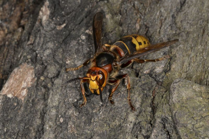 Insect hornet on the bark of an oak tree