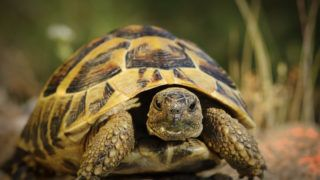 closeup of Testudo hermanni  in natural habitat, hermann's turtoise portrait