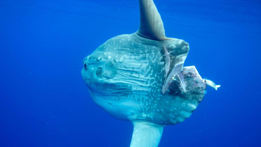 Mola Mola injured by propeller