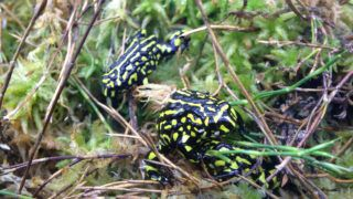 The Southern Corroboree Frog is listed Endangered in Australia