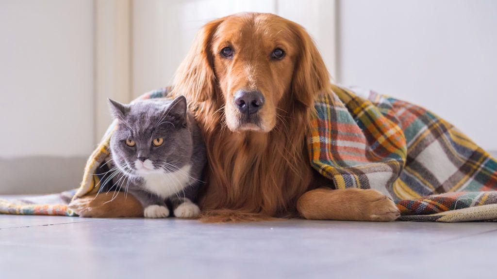 Golden retriever and British cat