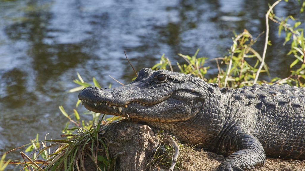 American Alligator in Everglades National Park Florida USA