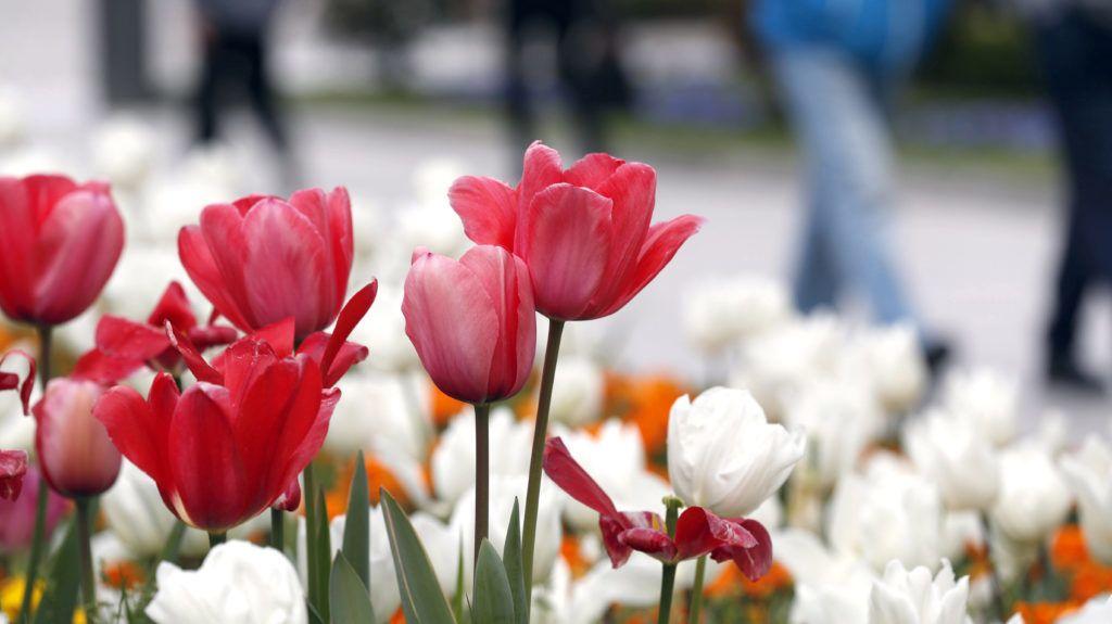 Bilbao, 2019. március 20. Virágzó tulipánok Bilbaóban 2019. március 20-án. Csillagászati értelemben idén ez a tavasz elsõ napja, a tavaszi nap-éj egyenlõség ideje, amikor a Nap az egyenlítõ felett delel. MTI/EPA-EFE/Luis Tejido