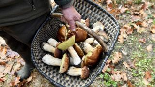 """French Jean-Pierre Biaussa carries a basket full of ceps mushrooms as he collects them in a plot of his experimental forest, in Champs-Romain on November 9, 2018. - Since 2015 Biaussa has been experimenting and understanding the process of mushrooms growth, in order to be able to set up a sector for the """"Cepes du Perigord"""". (Photo by NICOLAS TUCAT / AFP)"""