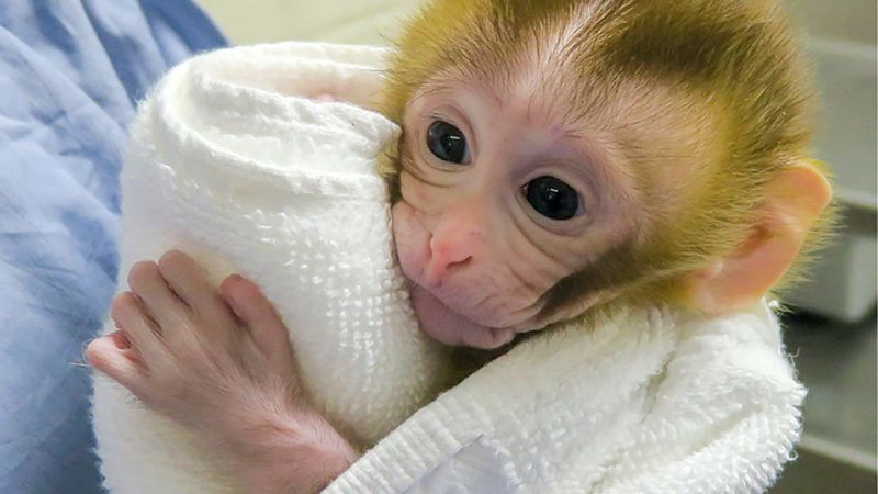 """This image released by the Oregon Health and Science University (OHSU) shows Grady, a macaque, at two weeks old born in April 2018, via in vitro fertilization. - A team led by researchers at the University of Pittsburgh School of Medicine announced March 21, 2019 they had achieved a milestone, using sperm gathered from a male rhesus macaque to generate embryos that were transferred to recipient females. In April 2018, one of the females gave birth to this healthy baby named Grady -- a portmanteau of """"graft-derived"""" and """"baby."""" Three experiments conducted on monkeys since the 2000s have successfully demonstrated that sperm production, or spermatogenesis, was possible via auto grafting. None had resulted in conception and the birth of a baby, until now. The experiment represents a successful proof of concept for the technique and brings it one step closer to reality for human boys affected by cancer. The technique includes harvesting and cryopreserving of immature testicular tissue before chemotherapy or radiotherapy treatments, and then graft it back during adolescence so that it will produce fertile sperm at puberty. (Photo by HO / OHSU / AFP) / RESTRICTED TO EDITORIAL USE - MANDATORY CREDIT """"AFP PHOTO / Oregon Health and Science University"""" - NO MARKETING NO ADVERTISING CAMPAIGNS - DISTRIBUTED AS A SERVICE TO CLIENTS"""