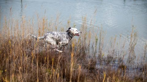 """English Setter puppy """"Rudy"""" on the 03.11. 2017 in autumnal mood at the pond of Stara Lysa, (Czech Republic). Rudy was born in early January 2017 and moved to his new family some time ago. 