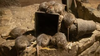 26 March 2019, Lower Saxony, Osnabr¸ck: Rats sit in an enclosure of the underground zoo, which celebrates its tenth anniversary. In 2009 the Osnabr¸ck Zoo started a department dealing with underground animals. Star among these animals is among other things the naked mole. Photo: Friso Gentsch/dpa