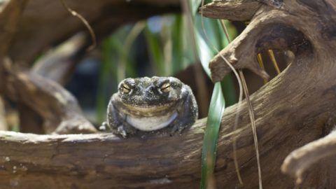 Colorado toad (Bufo alvarius)