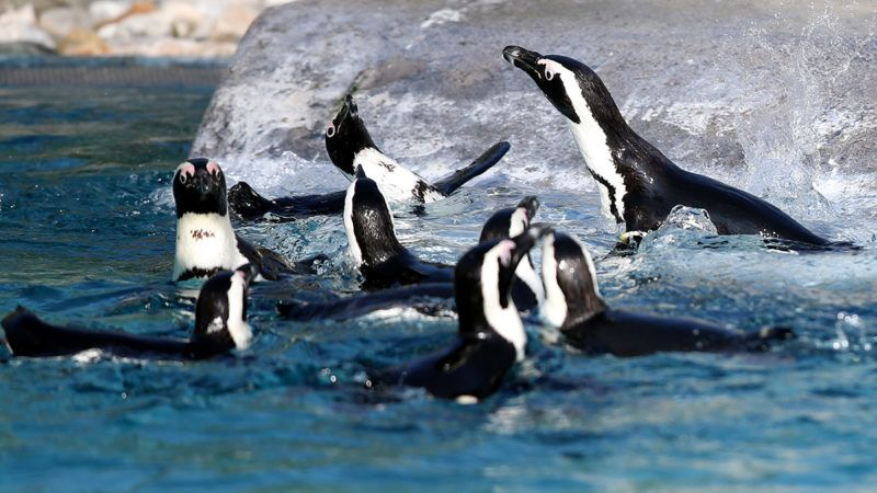 BURSA, TURKEY - FEBRUARY 20: African penguins try to catch sardine threw by zoo employee at Bursa Zoo in Bursa province of Turkey on February 20, 2019. Mustafa Yilmaz / Anadolu Agency