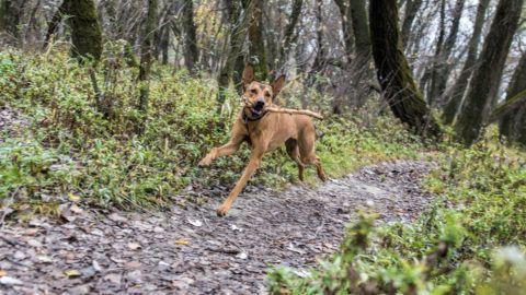 Kutya az erdőben fut