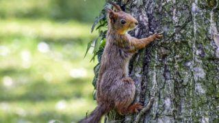 Budapest, 2017. május 20. Egy európai mókus, más néven vörös mókus (Sciurus vulgaris) mászik egy fa törzsén a Népligetben. MTVA/Bizományosi: Róka László  *************************** Kedves Felhasználó! Ez a fotó nem a Duna Médiaszolgáltató Zrt./MTI által készített és kiadott fényképfelvétel, így harmadik személy által támasztott bárminemû – különösen szerzõi jogi, szomszédos jogi és személyiségi jogi – igényért a fotó készítõje közvetlenül maga áll helyt, az MTVA felelõssége e körben kizárt.