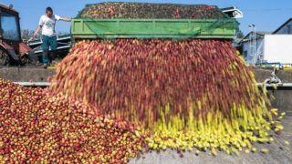 Nagykálló, 2014. október 11.Almatermelő üríti járművét a Brix-Trade Kft. sűrítmény készítő üzemének telephelyén Nagykállóban 2014. október 11-én. A mai napon kezdte meg az ipari alma felvásárlását a Magyar Nemzeti Kereskedőház (MNKH) Zrt.  A túltermelés okozta almapiaci válság enyhítésére indított kereskedőházi programban Vaján, Mátészalkán és Nagykállóban veszik át a termelőktől a gyümölcsöt.MTI Fotó: Balázs Attila