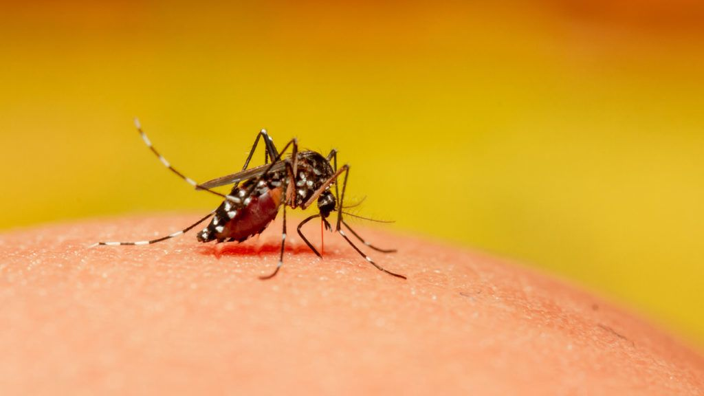 Mosquito Close up Sucking blood