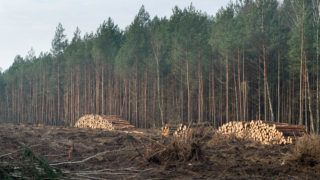 pile of cut tree logs in forest