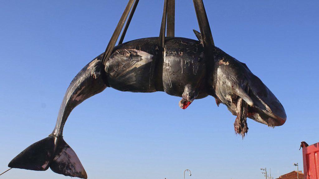 Porto Cervo, 2019. április 1. A SEAME állatvédõ szervezet által közreadott képen daruval szállítják el egy partra vetett bálna tetemét a Szardínián fekvõ Porto Cervo partjainál 2019. március 29-én. A nyolcméteres ámbráscet gyomrában 22 kilogramm emészthetetlen hulladékot, köztük klímacsövet, mûanyag edényeket, nejlonzacskókat, horgászzsinórokat, mosószer-csomagolásokat találtak, ami az állat pusztulását okozta. MTI/AP/SEAME Sardinia Onlus