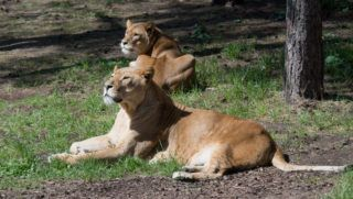 SYMBOL - 05 May 2019, Lower Saxony, Hodenhagen: Two lions stay in the Serengeti-Park Hodenhagen. Two lions separated from the pack in a separate enclosure (not in the picture) attacked an animal keeper and seriously injured him. The keeper and the lions were in the enclosure at the same time, which was normally not the case. Photo: Julian Stratenschulte/dpa