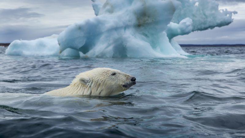 Polar Bear (Ursus maritimus) swimming past melting iceberg near Harbour Islands, Repulse Bay, Nunavut Territory, Canada.    Biosphoto / Paul Souders