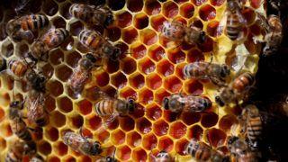 Gi'vat Ye'arim, 2019. május 21. Lépet töltenek fel méhek egy bioméhészetben, az izraeli Gi'vat Ye'arim településen 2019. május 21-én, egy nappal a méhek világnapját követõen. Az ENSZ a méhészetek helyzetére és fontosságára hívja fel a figyelmet a világnappal. MTI/EPA/Abir Szultan