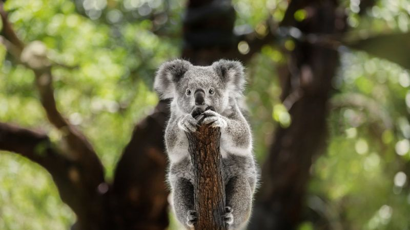 Animal, Animal Hair, One Animal, Australia, Koala