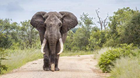 Specie Loxodonta africana family of Elephantidae