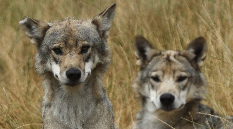 Saint-Léger-de-Peyre, 2018. július 5.Lengyelországi farkasok egy dél-franciaországi farkasparkban, Saint-Léger-de-Peyre közelében 2018. július 5-én. (MTI/EPA/Guillaume Horcajuelo)
