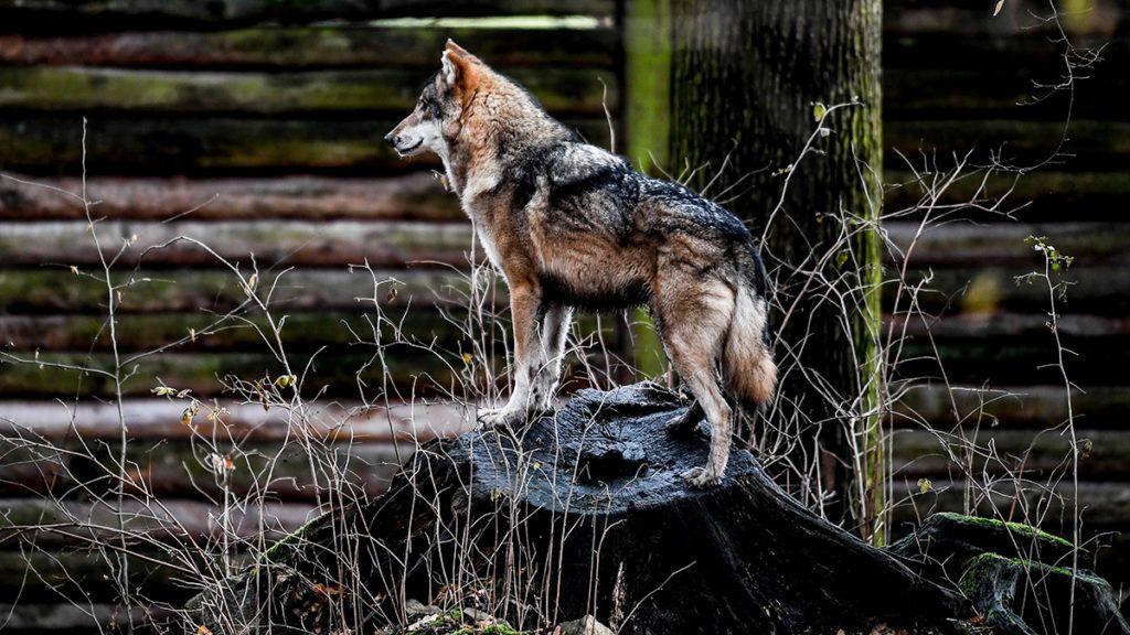 Farkasok randevú