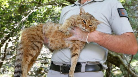 """An employee of the French Forest and Hunting Office (Office Nationale des Forets et de la Chasse) Charles-Antoine Cecchini holds a """"ghjattu-volpe"""" (fox-cat) Felis Silvestris on June 12, 2019 in Asco on the French Mediterranean island of Corsica. - The Corsican fix-cat is a new specie of feline according to the ONCFS. (Photo by PASCAL POCHARD-CASABIANCA / AFP)"""