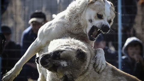 Two wolfhounds take part in a dogfight in a stadium in the Kyrgyzstan capital Bishkek on November 5, 2017, during fights organized by a local breeders aiming to improve the Asian Shepherd breed, organizers said. (Photo by Vyacheslav OSELEDKO / AFP)