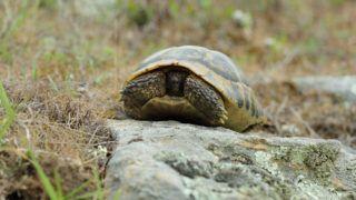 Hermann's tortoise (Testudo hermanni), Bulgaria.    Biosphoto / Christophe Ravier