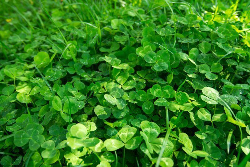 Trifolium repens, the white clover also known as Dutch clover, Ladino clover, or Ladino,  Dutch