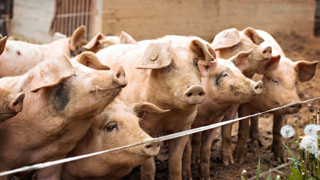 Pigs on the farm. Happy pigs on pig farm. piglets