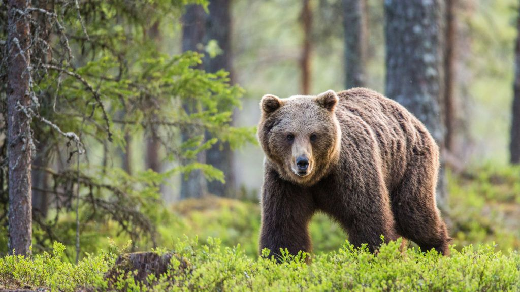 One bear in the background of a beautiful forest. Summer. Finland.