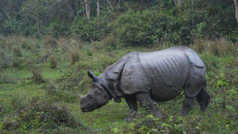 One-horned Asian rhinoceros (Rhinoceros unicornis), Chitwan National Park, Inner Terai lowlands, Nepal, Asia, Unesco World Heritage Site.    Biosphoto / Juan-Carlos Munoz
