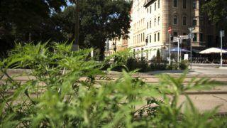 """Budapest, 2016. augusztus 2. Ürömlevelû parlagfû, vagy egyszerûen parlagfû (Ambrosia artemisiifolia) - tévesen vadkender - """"virít"""" a Döbrentei téren, a fõváros I. kerületében. MTVA/Bizományosi: Turbéky Eszter  *************************** Kedves Felhasználó! Ez a fotó nem a Duna Médiaszolgáltató Zrt./MTI által készített és kiadott fényképfelvétel, így harmadik személy által támasztott bárminemû – különösen szerzõi jogi, szomszédos jogi és személyiségi jogi – igényért a fotó készítõje közvetlenül maga áll helyt, az MTVA felelõssége e körben kizárt."""