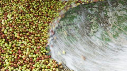 Vásárosnamény, 2009. augusztus 28. A beérkezett almát vízsugárral mossák be az adagoló garatba a feldolgozás elsõ fázisában az Agrana-Juice-Magyarország Kft. vásárosnaményi almafeldolgozó üzemében. Az Alma Terméktanács tagjai szerint az idei újabb alacsony felvásárlási ár miatt a megszûnés fenyegeti az almatermesztést. Az ipari alma jelenlegi 11 forint kilogrammonkénti ára legfeljebb csak a betakarítás és a szállítás költségeit fedezi; mindez azt eredményezheti, hogy a termelõk felhagynak a gyümölcstermesztéssel. A becslések szerint a tavalyi 670 ezerrel szemben az idén 510 ezer tonna almatermés várható. MTI Fotó: Balázs Attila