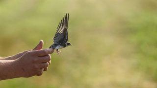 Nemti, 2019. július 19. Szabadon enged egy meggyûrûzött partifecskét a Magyar Madártani és Természetvédelmi Egyesület önkéntese a Nógrád megyei Nemti közelében 2019. július 19-én. Magyarországon a vonuló madarak, köztük a fecskefajok száma jelentõsen csökken. A gyûrûzés segítségével lehetõség nyílik az állatok vonulásának és populációjának vizsgálatára. MTI/Komka Péter